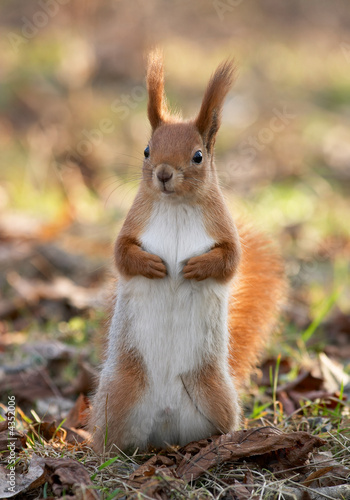 Fototapeta Red squirrel