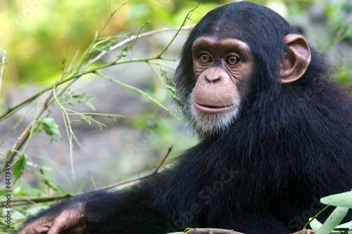 Fotografija Chimpanzee