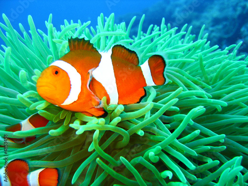Tropical clown fish family Tapéta, Fotótapéta