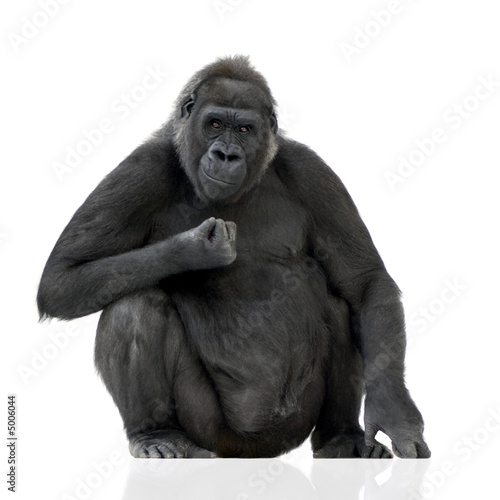 Obraz na płótnie Young Silverback Gorilla