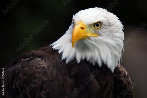 Fényképezés American Bald Eagle (Haliaeetus leucocephalus)