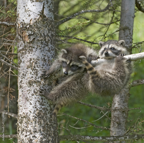 Canvas Print Baby racoons hanging out