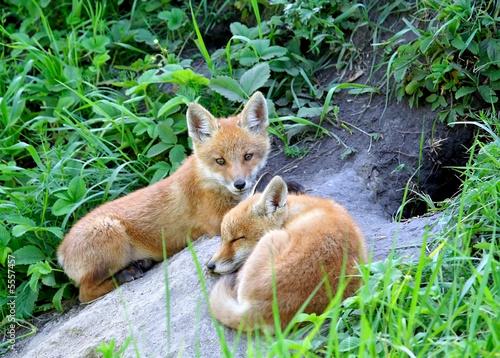 Fototapeta Red Fox ( Vulpes vulpes )