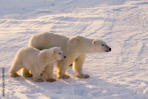 Fototapeta Polar bear with her cub.  Canadian Arctic