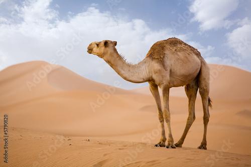 Lone Camel in the Desert  sand dune with blue sky Fototapeta