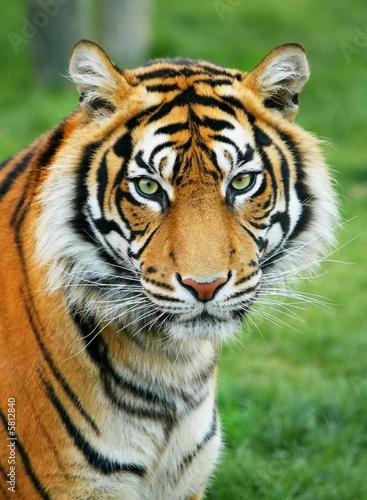 Tiger #5812840