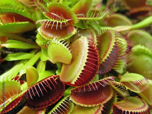 Carta da parati Weird little plants, a crop of Venus Fly Traps.