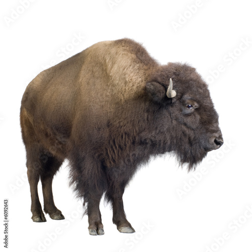 Leinwand Poster Bison