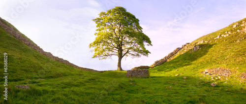 Fotografia Tree at Hadrian's Wall