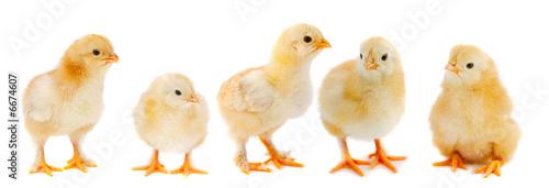 Canvas Print Adorable chicks