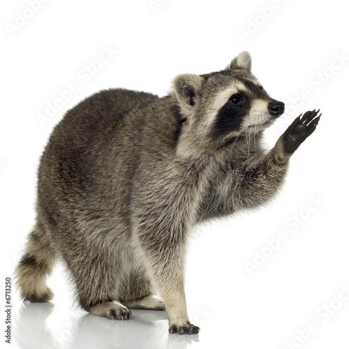 Obraz na plátně raccoon (9 months) -  Procyon lotor