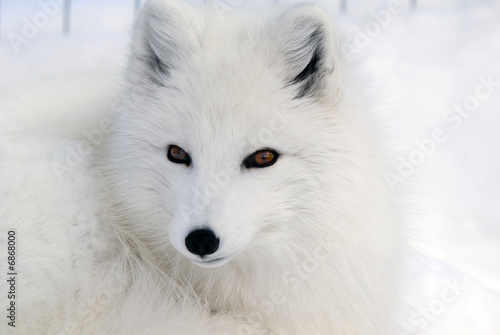 Fototapeta Arctic Fox