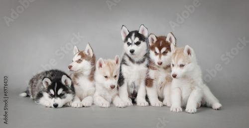 Canvas Print Siberian Husky dog puppy