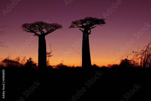 Obraz na płótnie Baobabs celebre Madagascar