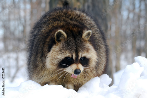 Canvas Print Raccoon