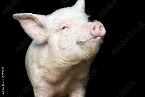 Canvas Print Cute happy baby pig face isolated on black