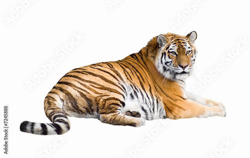Canvas Print Siberian tiger cutout