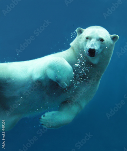 Canvas Print Polar bear underwater close-up