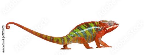Fototapeta premium Chameleon Furcifer Pardalis - Ambilobe (18 miesięcy)