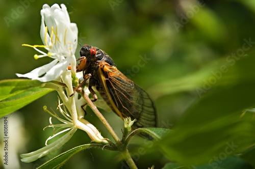Red eyed seventeen year cicada