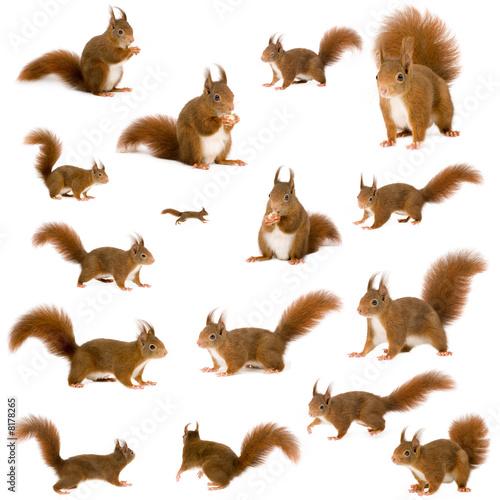 Fototapeta arrangement of squirrels