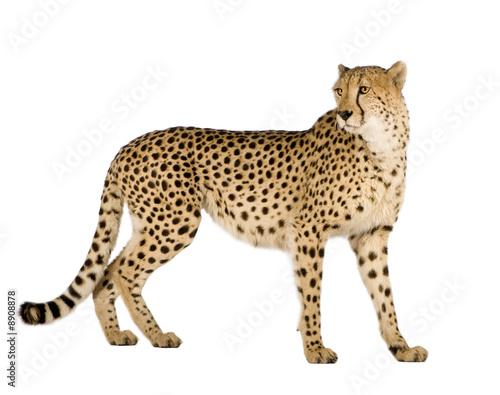 Fotografia Cheetah - Acinonyx jubatus in front of a white background