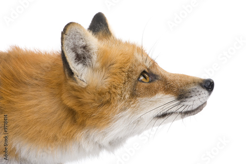 Fototapeta Red fox (4 years) - Vulpes vulpes in front of a white background