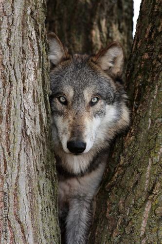Fototapeta wolf canis lupus