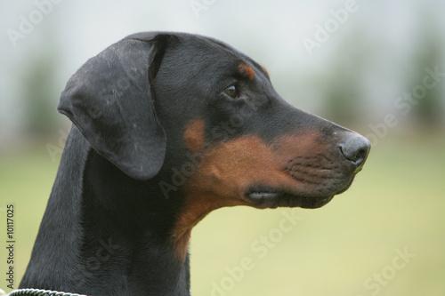 Obraz na płótnie Dobermann portrait de profil