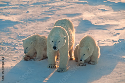 Fototapeta Polar bears in Canadian Arctic