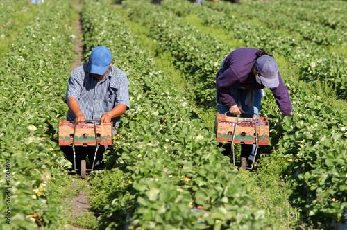 Canvas-taulu Strawberry picker migrant woorkers