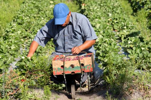 Valokuvatapetti Strawberry picker migrant woorkers