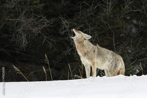 Carta da parati Howling Coyote