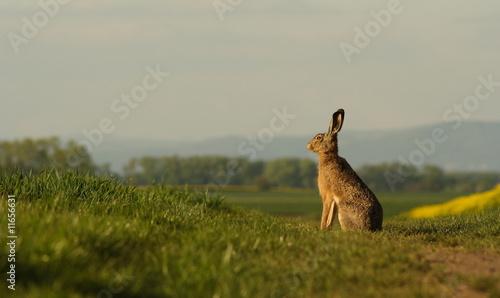 Fotografia, Obraz A hare sitting on the balk.