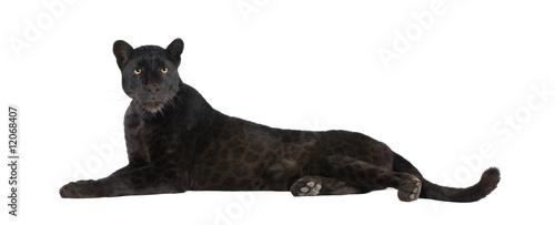 Fototapeta premium Black Leopard (6 lat)
