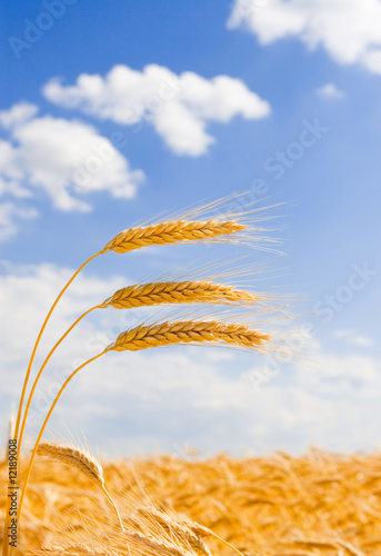 Canvas Print golden wheat in the blue sky background