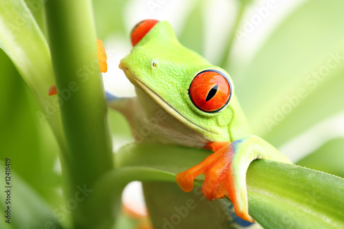 Tablou Canvas frog in a plant - red-eyed tree frog