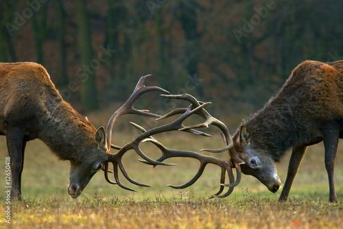 Obraz na plátně Red deer fight