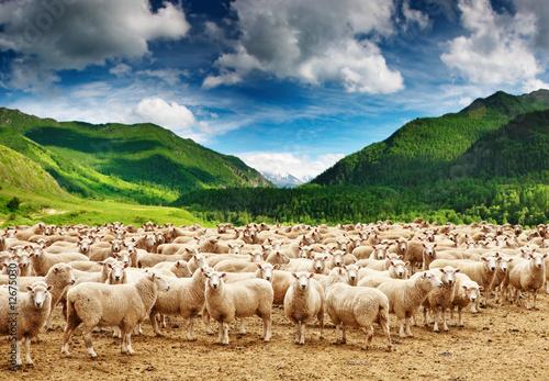 Herd of sheep Fototapeta
