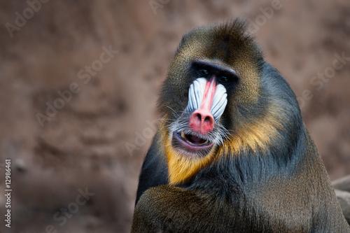 Tela colorful mandrill