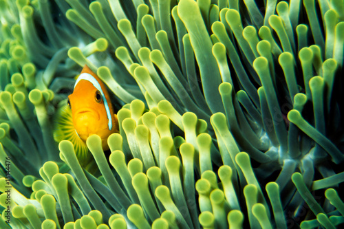 Fototapeta Ryba klown wśród ukwiałów na wymiar
