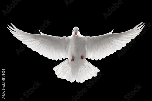 Fotografering flying dove