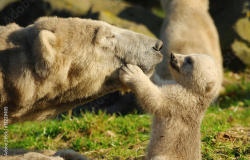 Fototapeta polar bear and cub