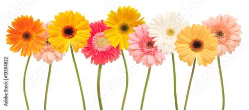 Fotografie, Obraz colorful daisy flowers