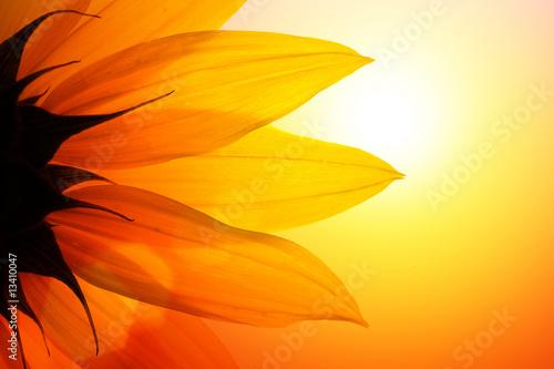 Naklejka premium Słonecznik przed zmierzchem, zbliżenie.