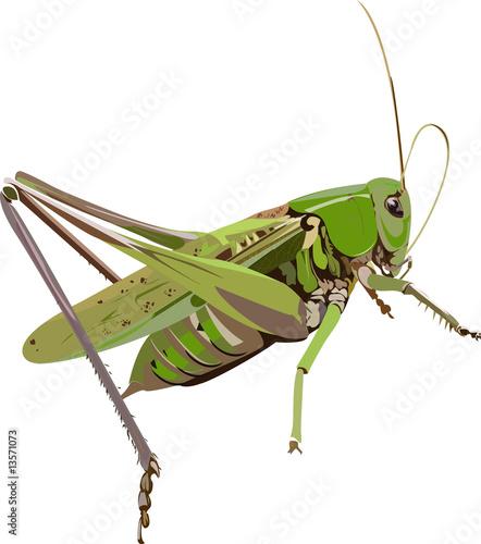 Obraz na plátně grasshopper