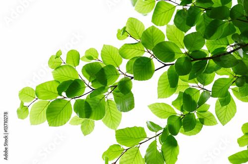 Fotografie, Tablou Detail of fresh beech tree leaves in early spring