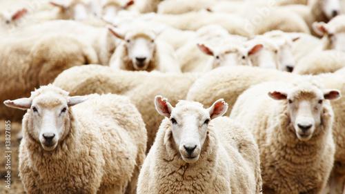 Fotografia Herd of sheep