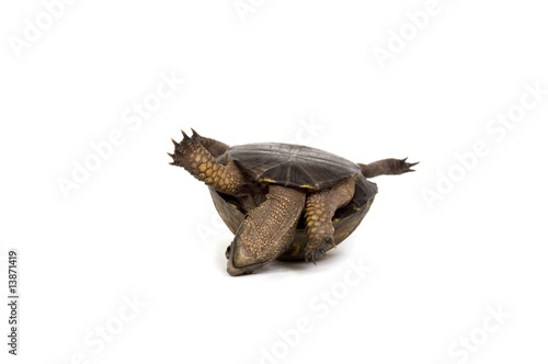 Turtle on its back on white background