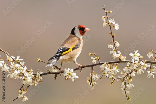 Canvastavla Goldfinch